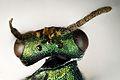 Pteromalus puparum. Chalcid Wasp. (dorsal head 200mm taken by Martin Cooper) - Flickr - gailhampshire.jpg