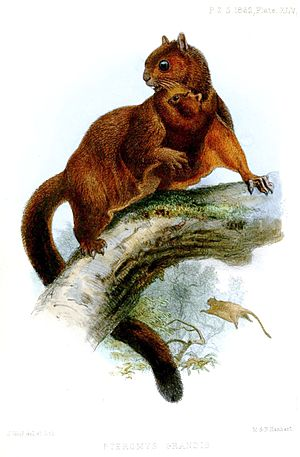 Red giant flying squirrel - P. p. grandis