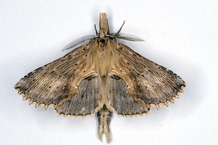 Pterostoma palpina, Lodz(Poland)01(js).jpg