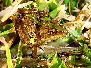 <i>Ptychadena</i> genus of amphibians