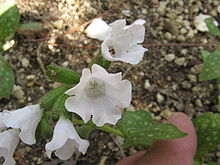 Pulmonaria officinalis 'Sissinghurst White'.jpg