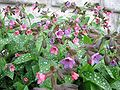 Pulmonaria officinalis kpjas 27042008.jpg