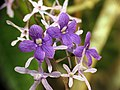 Purple Wreath Vine (16620419405).jpg