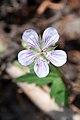 Purple geranium Geranium caespitosum (7924069478).jpg