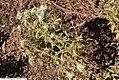 Pycnanthemum flexuosum 2zz.jpg