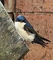Pygochelidon cyanoleuca (Golondrina azul y blanca) - Flickr - Alejandro Bayer (3).jpg