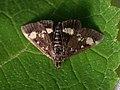 Pyrausta aurata - Mint moth - Огнёвка золотистая (25972046547).jpg