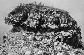 Haliotis asinina - A living specimen of Haliotis asinina
