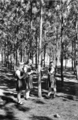 Queensland State Archives 2849 Students study trees Slacks Creek State School Experimental Pine Plot 1946.png