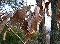 Quercus acutissima7.jpg