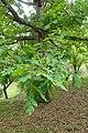Quercus alba kz01.jpg