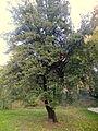 Quercus coccifera (11).JPG