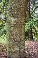Quercus crassifolia in Hackfalls Arboretum (5).jpg