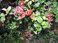 Quercus floribunda leaves.jpg