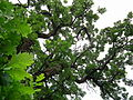 Quercus macrocarpa-Rum River Nature Area.jpg
