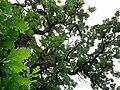 Quercus macrocarpa-Rum River Nature Area.jpg