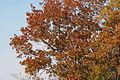Quercus serrata(2) (23520115713).jpg