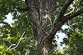 Quercus serrata (22273500030).jpg