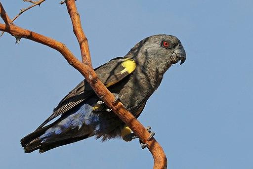 Rüppell's parrot (Poicephalus rueppellii) female