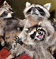 Raccoon Taxidermy Anthropomorphism.JPG