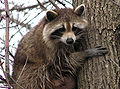 Raccoon female.jpg
