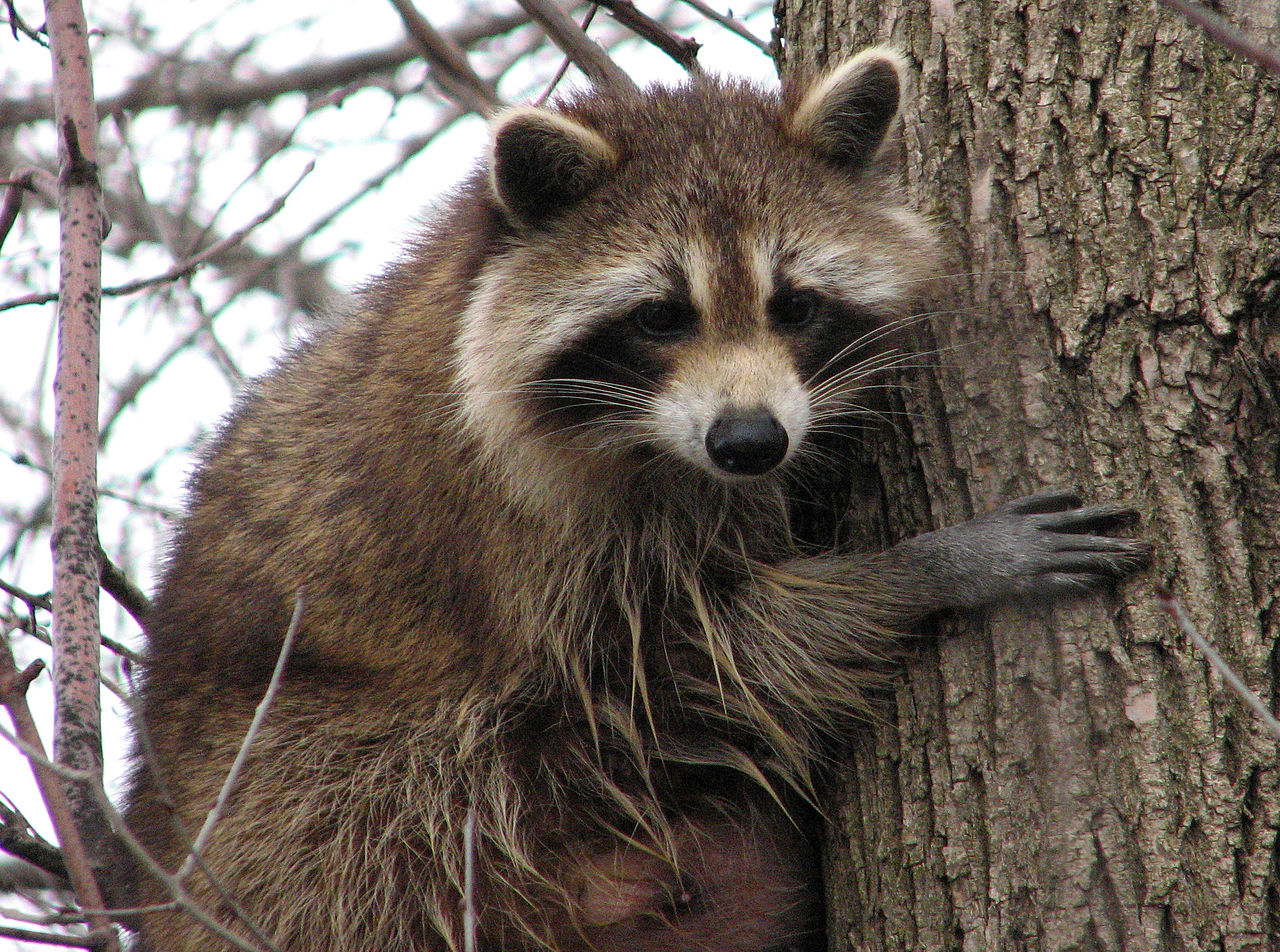 File Raccoon Female Jpg Wikimedia Commons