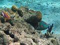 Rainbow Parrot Fish (5295756668).jpg