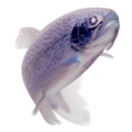 Rainbow trout transparent-inverted.png