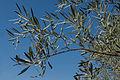 Rameau d'olivier Riofrio Spain.jpg