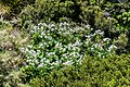 Ranunculus lyallii in Mount Cook National Park.jpg