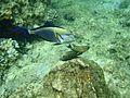Ras Mohamed zebra fish.jpg
