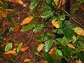 Raulí (Nothofagus alpina) - leaves (Inao Vásquez) 001.jpg