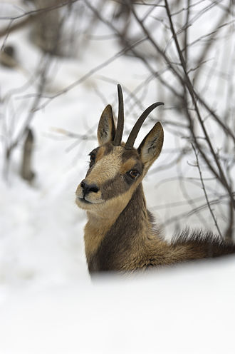 Cantabrian chamois - Figure 3: Facial pattern of a female Cantabrian chamois in winter coat.