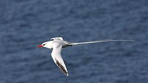 Red-billed tropicbird - Image: Red billed Tropicbird (Phaethon aethereus) (4089464789)