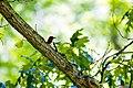 Red-headed woodpecker (35450591466).jpg
