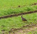 Red-legged Partridge - Flickr - gailhampshire.jpg