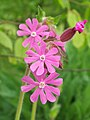 Red Campion (Silene dioica) (4598620175).jpg