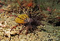 Red Lionfish (Pterois volitans) (8470489783).jpg