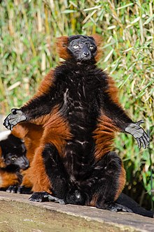 Male red ruffed lemur sitting upright, with arms and legs outstretched exposing the black fur of its abdomen to the sun
