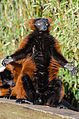Red Ruffed Lemur (16550610902).jpg