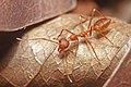 Red Weaver Ant, Oecophylla smaragdina.jpg