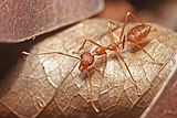 Red Weaver Ant, Oecophylla smaragdina.jpg
