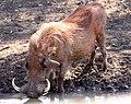 Red warthog (6073674924).jpg