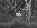 Reed-pied-billed-grebe-nest.png