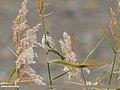 Reed Bunting (Emberiza schoeniclus) (49609523636).jpg