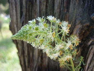 Reseda phyteuma image.JPG