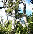 Reserva Nacional Llanquihue - Chile - Alerce Gigante.jpg