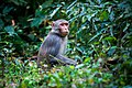 Rhesus Macaque monkey in bushes.jpg