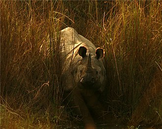 Rhinoceros Sutra - An Indian rhinoceros in the wilds.