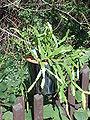 Rhipsalis rosea2.jpg